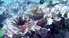 Rare Purple Lettuce Coral Garden Stock Footage