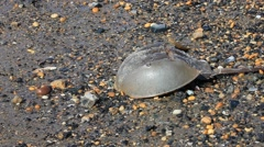 Horseshoe Crab Stock Footage