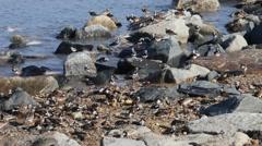 Delaware Bay Shorebirds Stock Footage