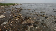 Horseshoe Crabs Stock Footage