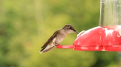 Ruby-Throated Hummingbird - stock footage