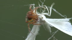 Spider Capturing Moth Stock Footage