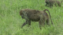 Foraging Baboons Stock Footage