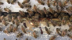 Honeybees at Nest Stock Footage