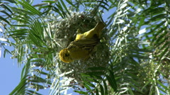 Masked Weaver Building Nest Stock Footage