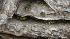 Yellowjacket Nest Stock Footage
