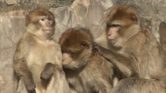 Barbary Macaques Stock Footage