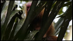 Red Uakari Monkey Stock Footage