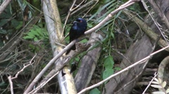 Greater Racket-tailed Drongo - stock footage