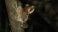 Dark-Eared Tree Frog Stock Footage