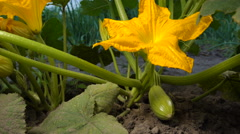 Squash Bloossom In The Garden Stock Footage