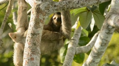 Brown Three-Toed Sloth Stock Footage