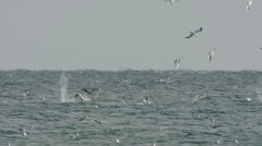 Gannets Feeding Stock Footage