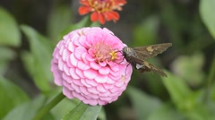 Skipper Butterfly on Zinnia Stock Footage