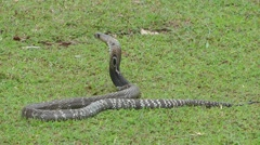 Indian cobra Stock Footage