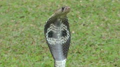 Indian cobra Stock Footage