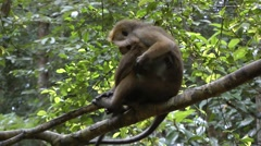 Toque macaque Stock Footage