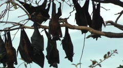 Common Flying Fox Stock Footage