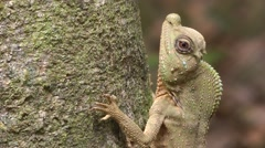 Hump-nosed Lizard Stock Footage