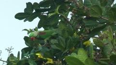 Alexandrine parakeet Stock Footage