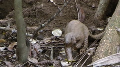 Thick-tailed pangolin Stock Footage