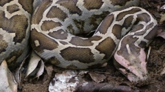Asiatic Rock python Stock Footage