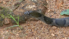 Sri Lanka Keelbacked Water Snake Stock Footage