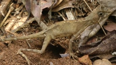 Kangaroo Lizard Egg-laying Sequence Stock Footage