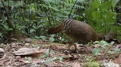 A Sri Lanka Jungle Fowl Stock Footage