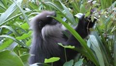 Purple-faced leaf monkey Stock Footage