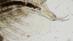Living Daphnia, LM Stock Footage