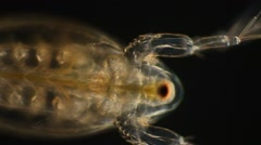 Copepod in Motion Stock Footage