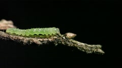 InchWorm Walking Stock Footage