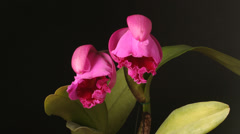 Orchid (Cattleya sp.) in flower Stock Footage