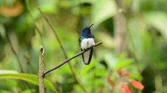 White-Necked Jacobin Hummingbird Stock Footage
