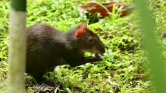 Red-rumped Agouti Stock Footage