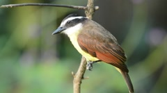 Great Kiskadee Stock Footage