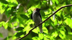 Bearded Bellbird Stock Footage