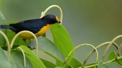 Violaceous Euphonia Stock Footage