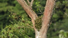 Lineated Woodpecker Stock Footage