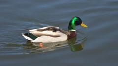 Mallard Duck (male) Stock Footage