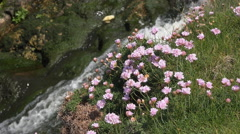 Seapink Wildflowers, Cornwall, UK Stock Footage