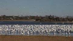 Snow Geese Stock Footage