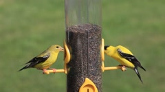 American Goldfinch at Feeder Stock Footage