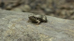 Beautiful pygmy frog, Cambodia Stock Footage