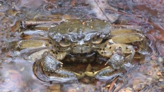 Freshwater crab, Cambodia Stock Footage