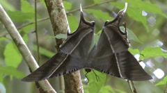 Tropical Swallowtail moth Stock Footage