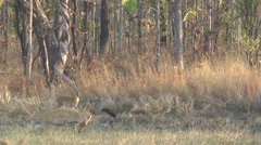Eld's Deer, Cambodia Stock Footage
