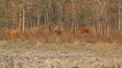 Banteng herd, Cambodia Stock Footage