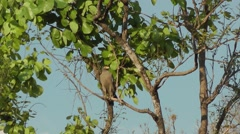 Crested Serpent Eagle Stock Footage